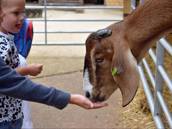Dorset Heavy Horse Farm Park - Feeding goats