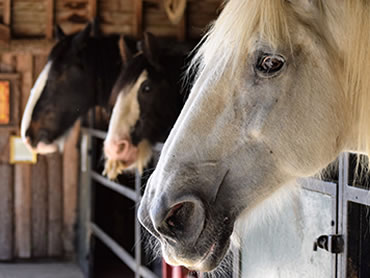 Dorset Heavy Horse Farm Park - Horses in stable