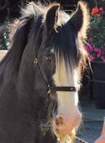 Dorset Heavy Horse Farm Park - Lightning