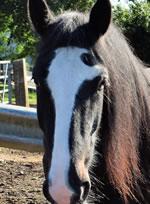 Dorset Heavy Horse Farm Park - Luke