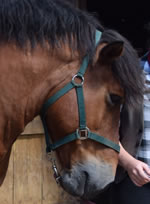 Dorset Heavy Horse Farm Park - Orestes