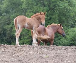 Dorset Heavy Horse Farm Park - Abbey Rose