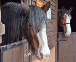 Dorset Heavy Horse Farm Park - Adam