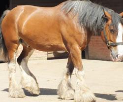 Dorset Heavy Horse Farm Park - Buddy