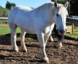 Dorset Heavy Horse Farm Park - Sultan