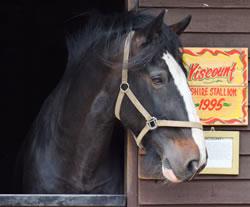 Dorset Heavy Horse Farm Park - Viscount
