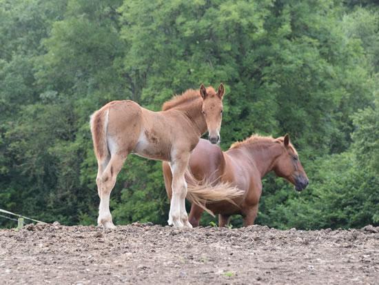 Dorset Heavy Horse Farm Park - Suffolk Punch horses