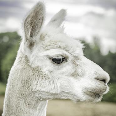 Dorset Heavy Horse Farm Park - Llamas